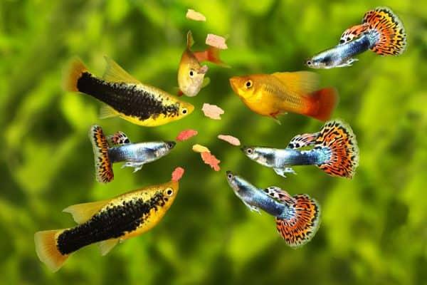 Feeding your aquarium fish