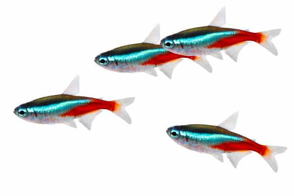 Fish Species Explained - Tetra's